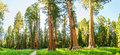 Grove with giant pine tree forest panorama Royalty Free Stock Photo