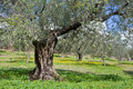 Grove of Olive Trees Stock Photography