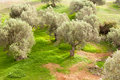 Grove of Olive Trees Stock Image