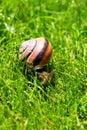 Grove snail or brown-lipped snail, Cepaea nemoralis, sliding through fresh green grass. Royalty Free Stock Photo