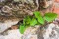 Grow plant on old brick Royalty Free Stock Image