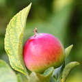 Growing apple Royalty Free Stock Photo
