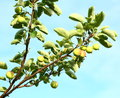 Growing apples Royalty Free Stock Photo