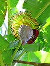 Growing banana blossom on banana tree in the garden Stock Images