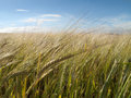 Growing barley blowing in the wind Royalty Free Stock Photo