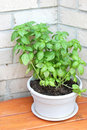 Growing basil in a pot Royalty Free Stock Photo