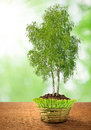 Growing birch tree in decorative pot Royalty Free Stock Photo