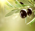 Growing Black Olives Stock Photo