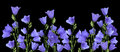 Growing blue bells Royalty Free Stock Photo
