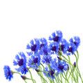 Growing blue corn flower in field on white background Royalty Free Stock Photos