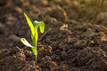 Growing Corn Seedling Sprouts in Agricultural Farm Field Royalty Free Stock Photo