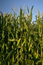 Growing corn stalks Royalty Free Stock Photo