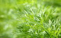 Growing dill in the garden close up Royalty Free Stock Photos