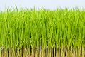 Growing fresh grass Royalty Free Stock Photos