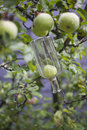 Growing fruit into bottle apple or pear inside preparation for liqeur schnapps or obstwasser Stock Photos