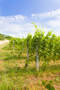 Growing grape vines Royalty Free Stock Photo