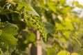 Growing grapes Royalty Free Stock Photos