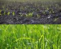 Growing grass in two stages photo Stock Photo