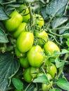 Growing Green Bush Tomatoes