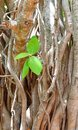 Growing Green Leaves, Branches and Aerial Roots of Sacred Fig - Ficus Religiosa - Pipal Tree
