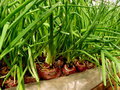 Growing green onion in hothouse from large bulbs on sawdust substrate Royalty Free Stock Photography