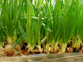 Growing green onion in hothouse from large bulbs on sawdust substrate Stock Photography