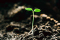 Growing Green Sprout From Soil. Spring Agricultural Season Royalty Free Stock Photo