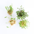 Growing microgreens on white background. Healthy eating concept of fresh garden produce organically grown as a symbol of