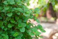 Growing mint leaves Royalty Free Stock Photo
