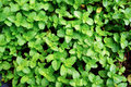Growing mint in organic Royalty Free Stock Photo