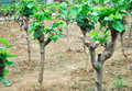 Growing mulberry trees Royalty Free Stock Images