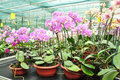 Growing orchids in greenhouse Royalty Free Stock Photo