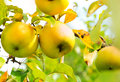Growing Organic Apples on a Branch Royalty Free Stock Photo