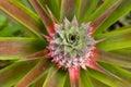 Growing Pineapple Royalty Free Stock Photo