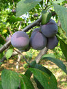 Growing plums Royalty Free Stock Image