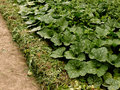 Growing pumpkins in arid zone row of planted to the bottom of irrigation ditch covered with heaps of weeds as mulch Stock Images