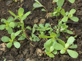 Growing purslane Stock Image