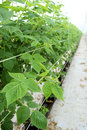 Growing raspberrys hydroponic plantation Stock Photos