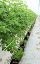 Growing raspberrys hydroponic plantation Royalty Free Stock Image