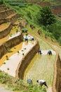 Growing rice in Mu Cang Chai, Yen Bai, Vietnam Royalty Free Stock Photo