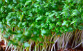 Growing salad mustard cress close up Stock Image