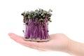 Growing salad mustard cress Royalty Free Stock Photo