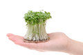 Growing salad mustard cress on the palm Royalty Free Stock Photo