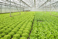 Growing salad plants in glasshouse Royalty Free Stock Photo