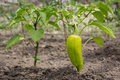 Growing shrub with green sweet peppers paprika. The Bush is watered with the water. Royalty Free Stock Photo