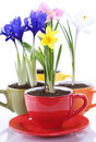 Growing spring flowers in a cup Stock Photos