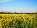 Growing the Sunn hemp in the field Royalty Free Stock Photo