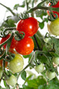 Growing tomatoes closeup nature background Royalty Free Stock Photo