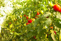 Growing tomatoes picking fresh Royalty Free Stock Photography