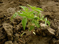 Growing tomatoes on the vegetable bed Stock Image